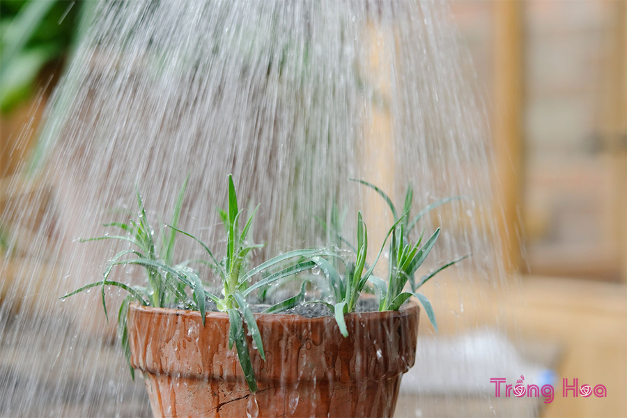 Cách giâm cành hoa cẩm chướng làm tăng số lượng hoa