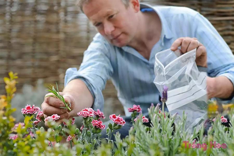 Cách giâm cành hoa cẩm chướng