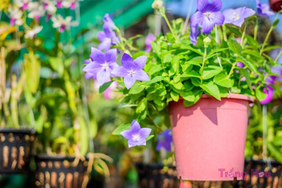 Cách trồng và chăm sóc hoa cát cánh chi tiết nhất