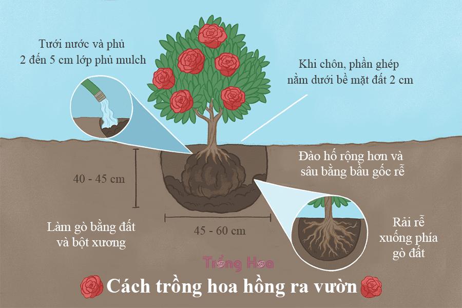 5 bước trồng hoa hồng đúng cách khi mới mua về