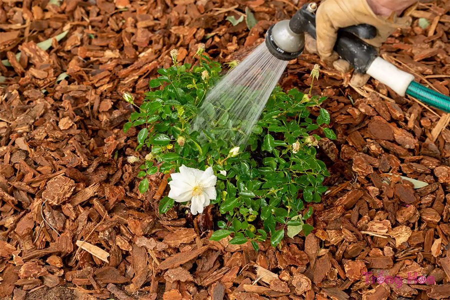Tưới nước cho hoa hồng mới mỗi ngày