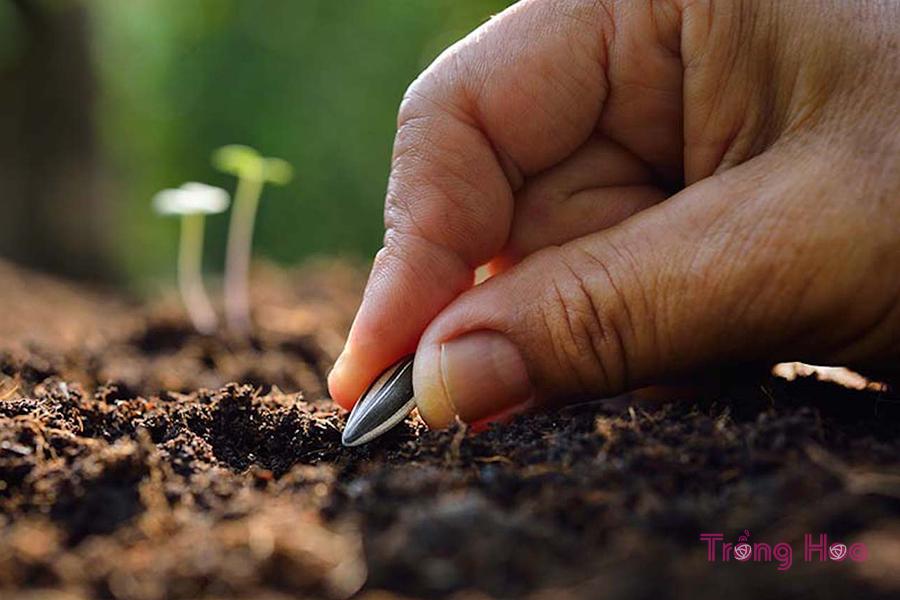 Cách gieo hạt trồng hoa hướng dương