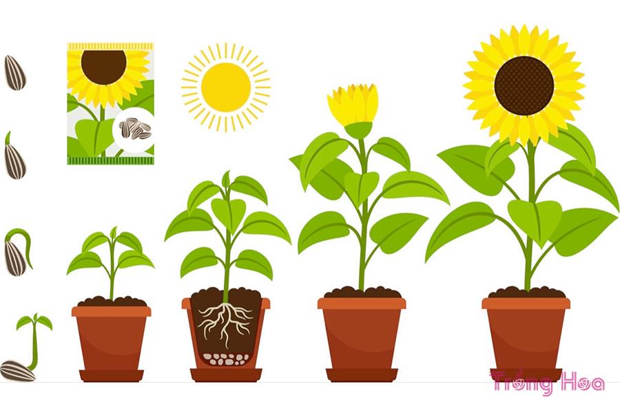7 Lời khuyên tốt nhất khi trồng hoa hướng dương trong chậu