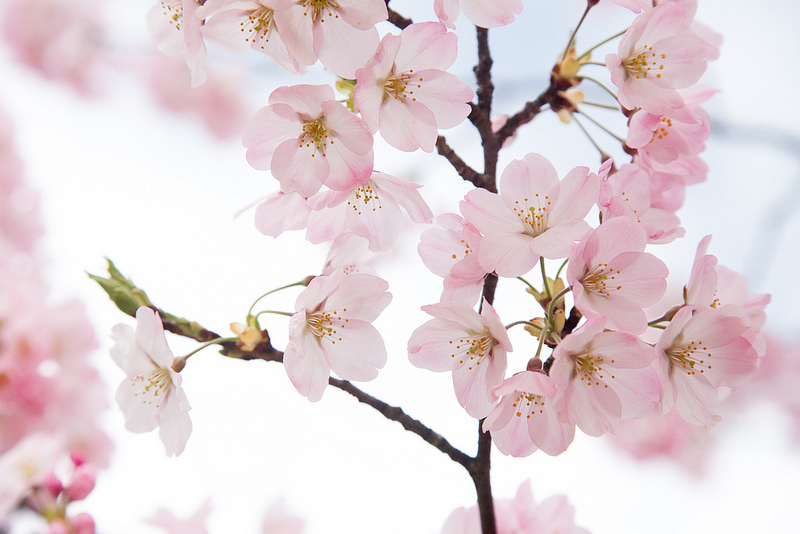Thơ hay về hoa anh đào