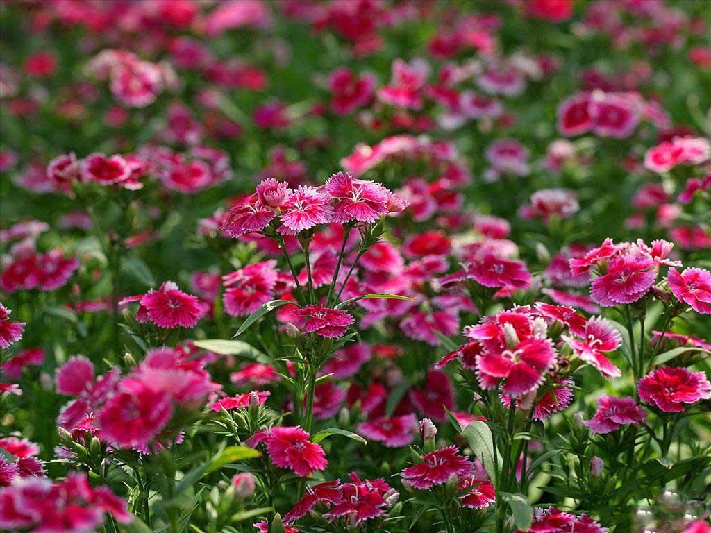 Nguồn gốc và ý nghĩa hoa cẩm chướng
