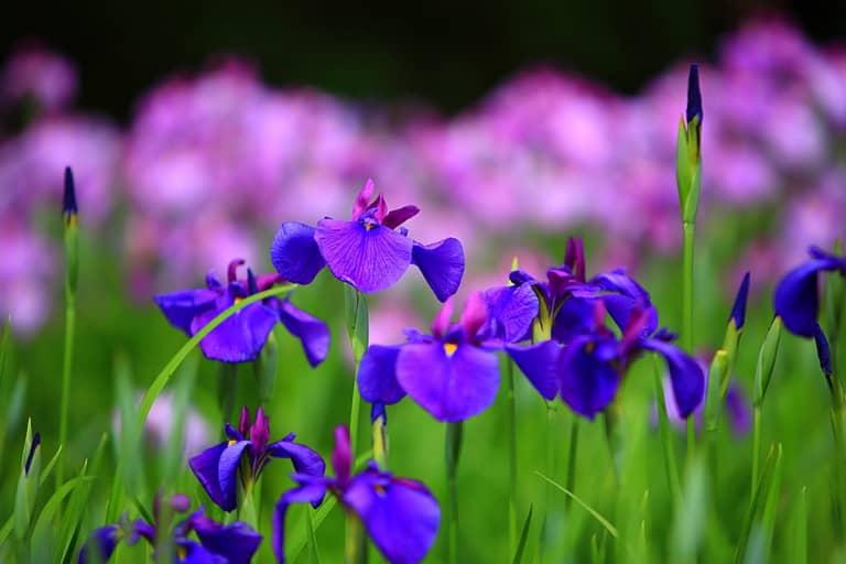 Ý nghĩa của hoa Diên vĩ