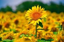 Truyền thuyết hoa hướng dương