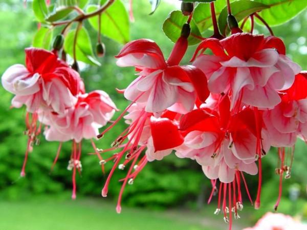 Khám phá nguồn gốc và ý nghĩa hoa lồng đèn