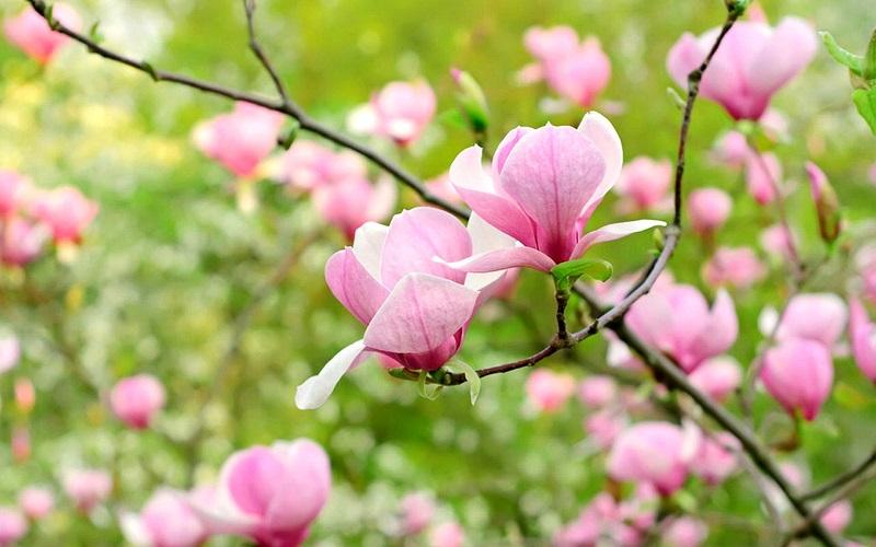 Ý nghĩa đằng sau vẻ đẹp của hoa mộc lan