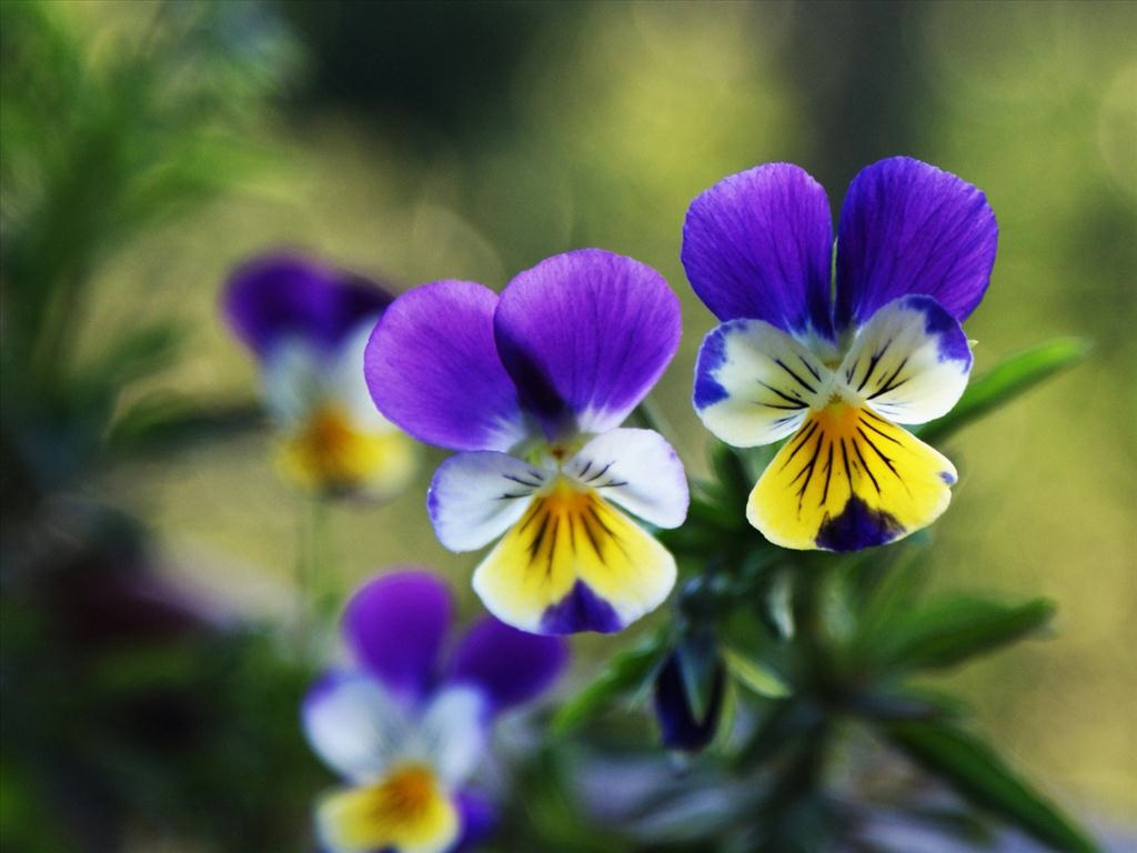 Chùm thơ hay về hoa Păng xê đẹp thần kỳ