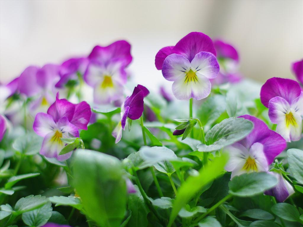 Ý nghĩa và sự tích hoa păng xê