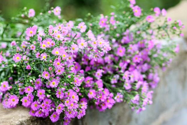 Ý nghĩa hoa thạch thảo