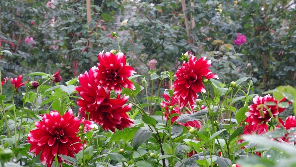 Truyền thuyết bài thuốc về hoa thược dược
