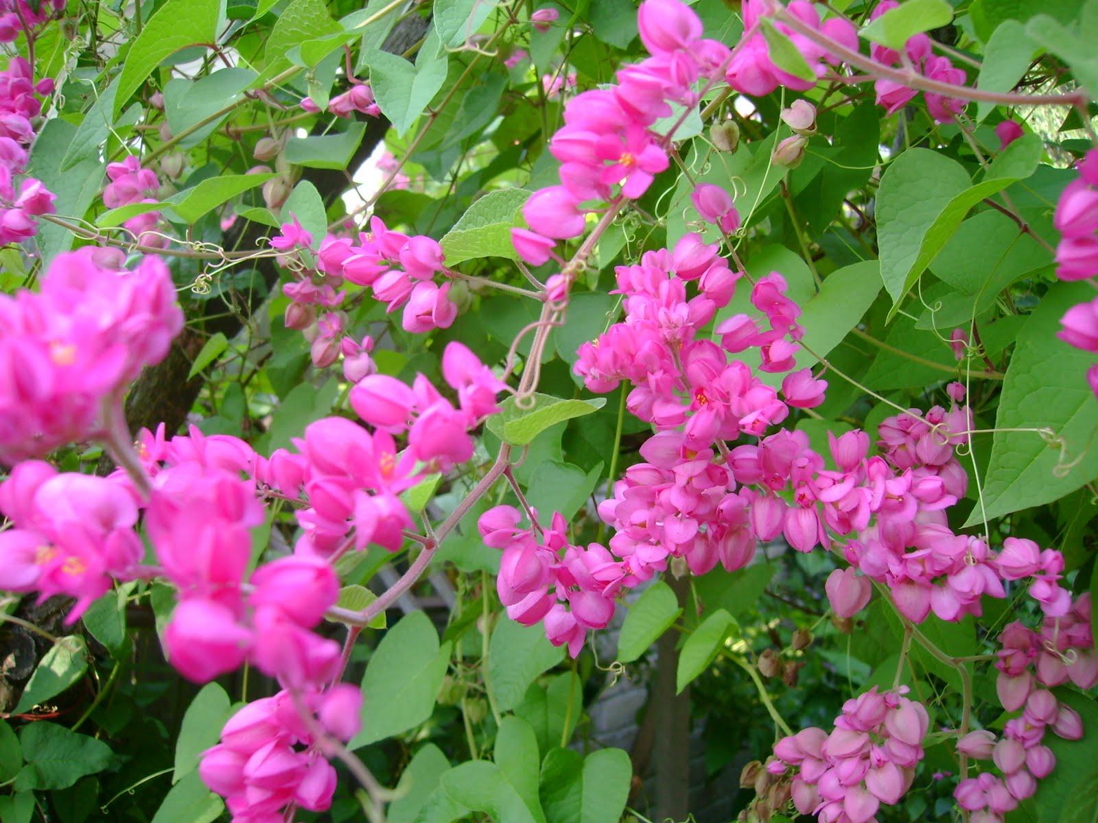 Ngâm thơ cùng hoa Tigon