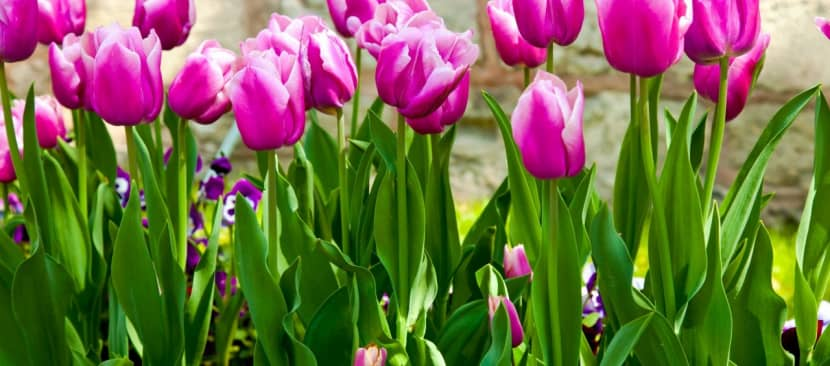 Tìm hiểu nguồn gốc hoa Tulip