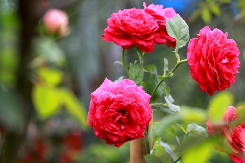 Truyền thuyết và nguồn gốc xuất xứ của hoa hồng