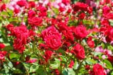 Ý nghĩa hoa hồng nữ hoàng của các loài hoa