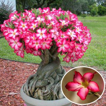 Cách trồng Sứ thái ra hoa nhiều và đẹp