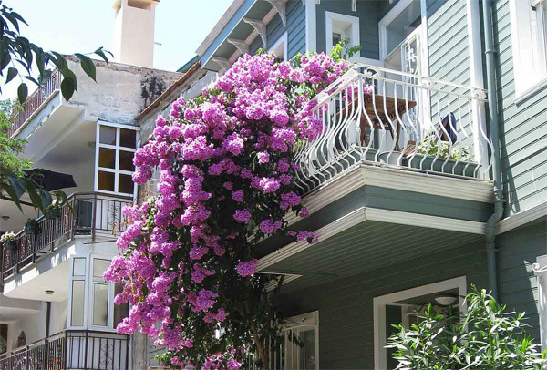 Cách trồng hoa giấy trên ban công đẹp rực rỡ