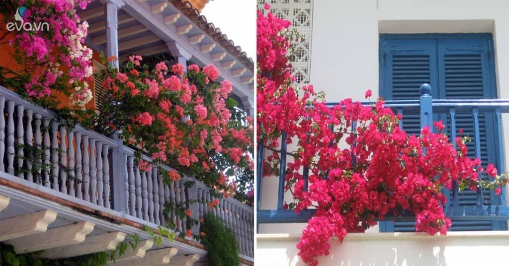 Cách trồng hoa giấy trên ban công đẹp rực rỡc