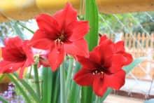 Kỹ thuật trồng hoa huệ đỏ ra hoa dịp tết