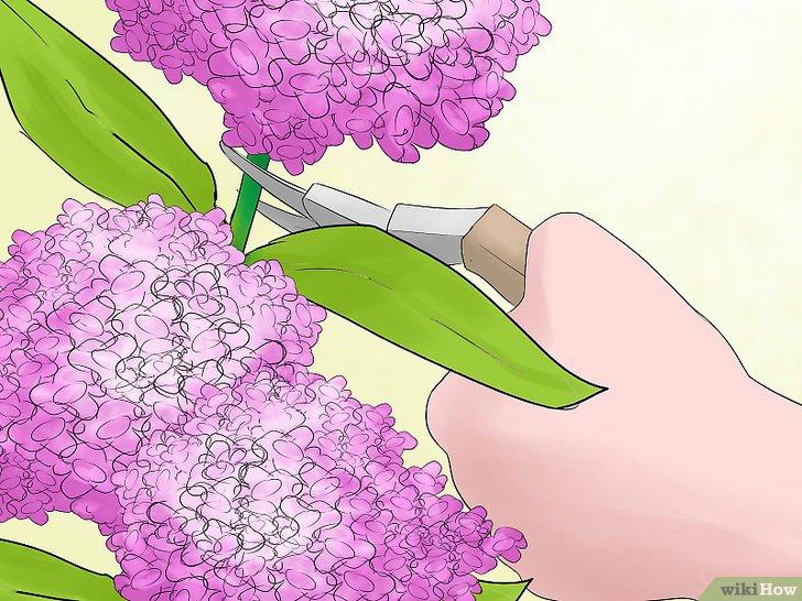 Kỹ thuật cắt tỉa cẩm tú cầu ra hoa