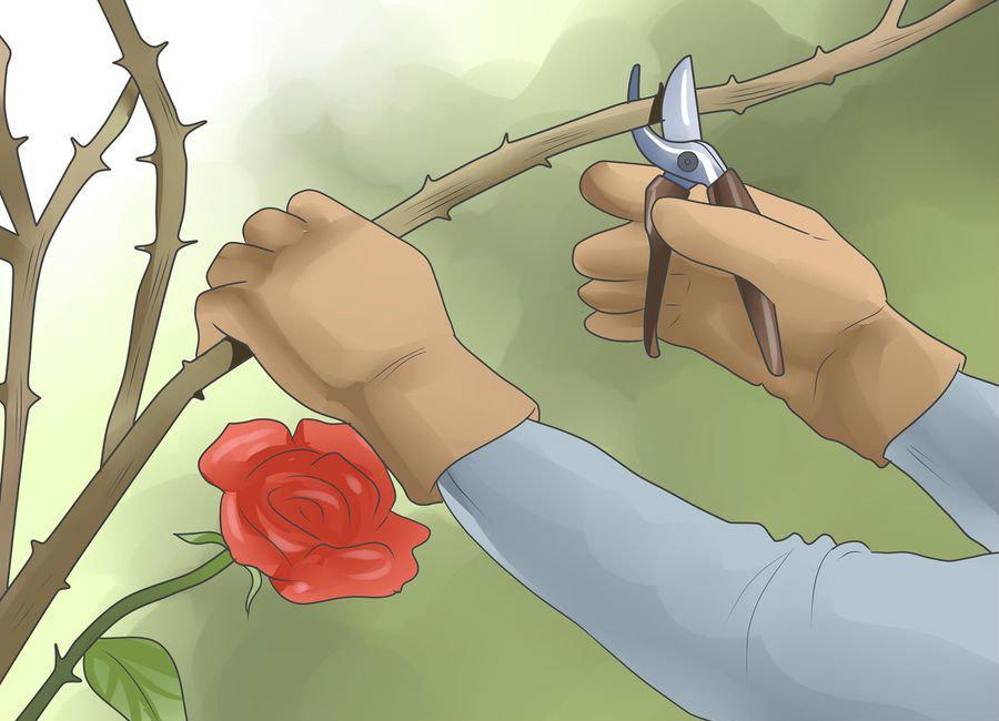 Kỹ thuật cắt tỉa hoa hồng leo ban công