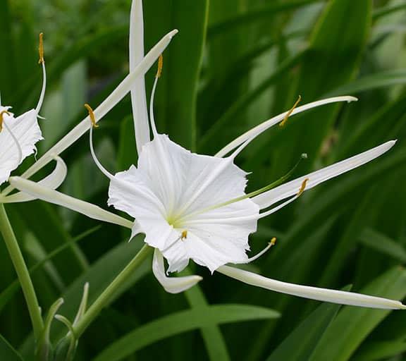 Cách trồng cây Bạch trinh biển nở hoa đẹp sáng trắng
