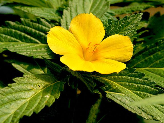 Kỹ thuật trồng cây dừa cạn vàng