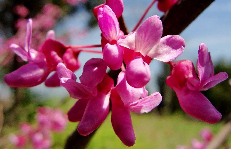 Trồng cây hạnh phúc cho vườn nhà rực rỡ sắc hoa