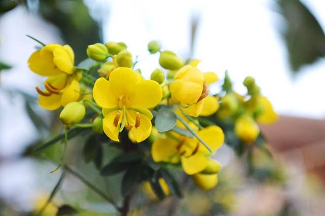 Kỹ thuật trồng cây Trúc mai đẹp rực rỡ