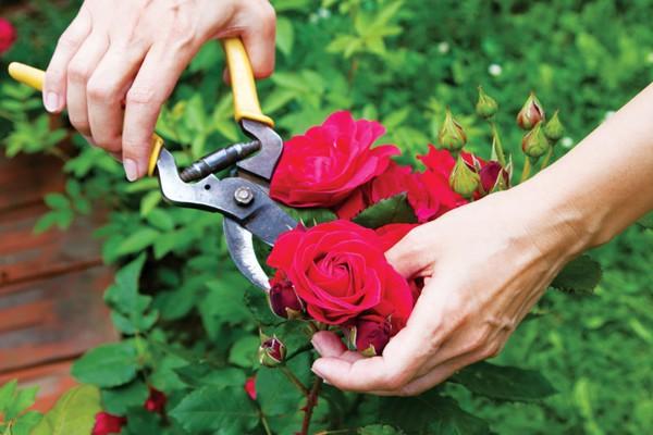 Kỹ thuật trồng và chăm sóc hoa hồng sau tết