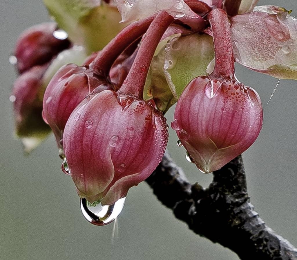 Kỹ thuật trồng hoa Đào chuông cho không gian đẹp ngây ngất