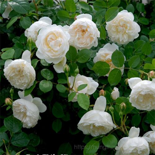 Kỹ thuật trồng hoa hồng bạch cổ đẹp tinh khiết