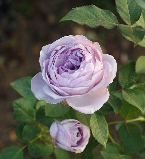 Kỹ thuật trồng cây Hoa hồng bụi Thạch lam ấn tượng