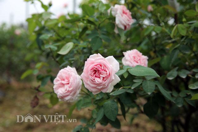 Trồng hoa hồng đào cổ mang hương thơm nồng nàn