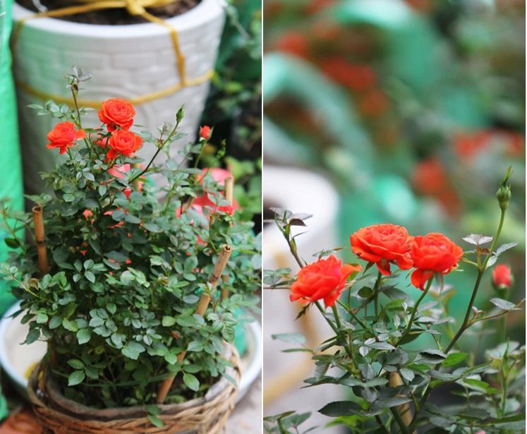 Kỹ thuật trồng hoa hồng quế hương thơm nồng nàn