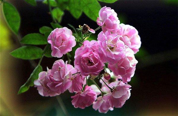 Kỹ thuật trồng hoa hồng tỉ muội
