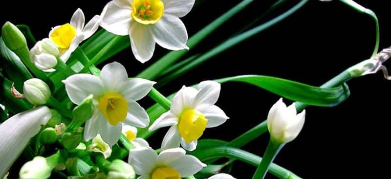 Hướng dẫn trồng hoa thủy tiên đẹp