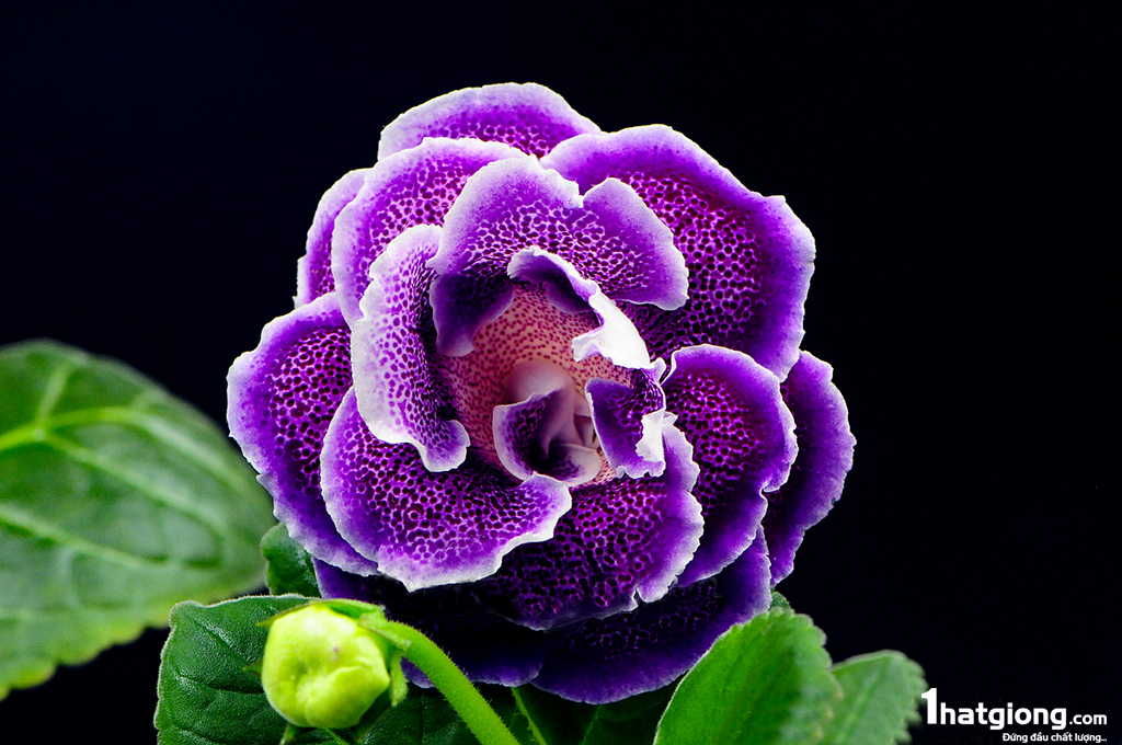 Tìm hiểu về loài hoa tử la lan
