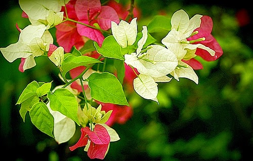 Kỹ thuật nhân giống và tạo hoa giấy nhiều màu