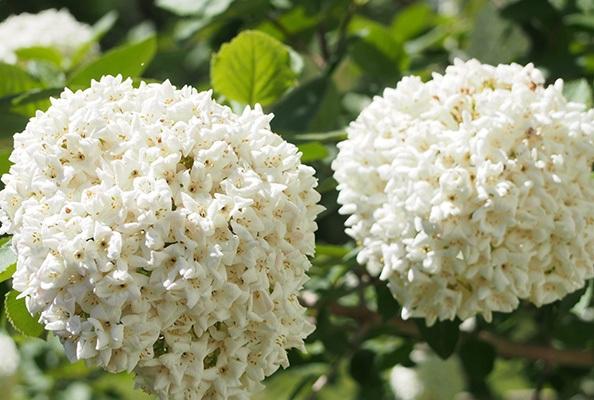 Kỹ thuật trồng hoa Hương tuyết cầu chậu treo đẹp ngỡ ngàng