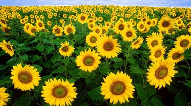 Tổng quát kỹ thuật trồng hoa