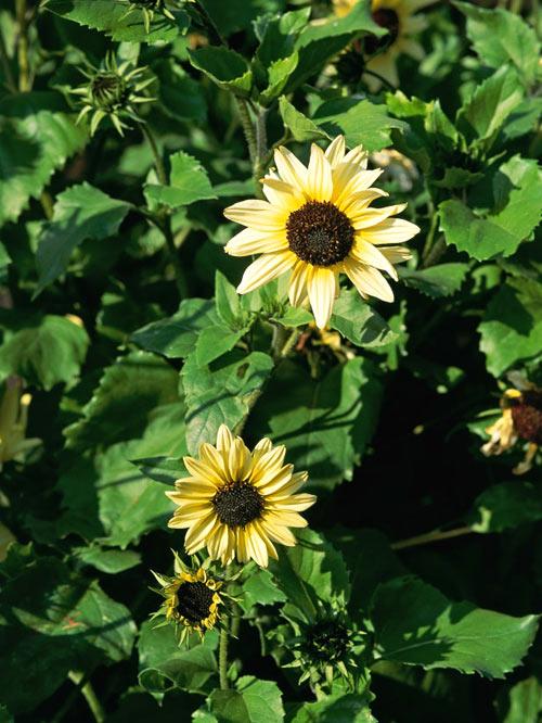 Các bước trồng hoa hướng dương tại nhà