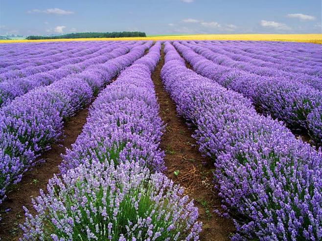 Kỹ thuật trồng hoa Violet nở đúng dịp tết