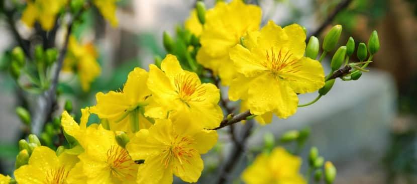 Phương pháp nhân giống cây hoa mai vàng