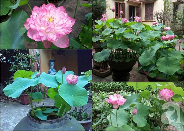 Trồng hoa Sen cung đình đẹp mê mẩn thơm dịu nhẹ