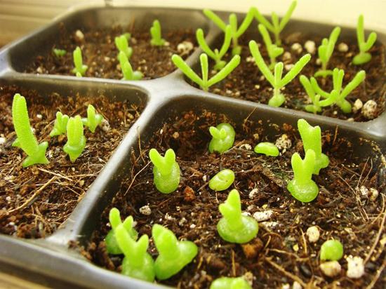 Kỹ thuật trồng hoa sen đá tai thỏ