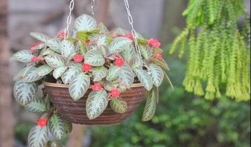 Kỹ thuật trồng cây ấm kiếm chậu treo cho không gian rực rỡ