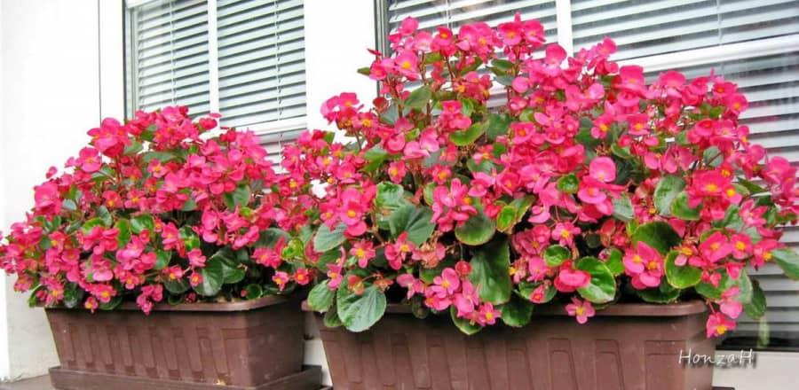 Kỹ thuật trồng cây bông nho đỏ mang tình yêu ngọt ngào
